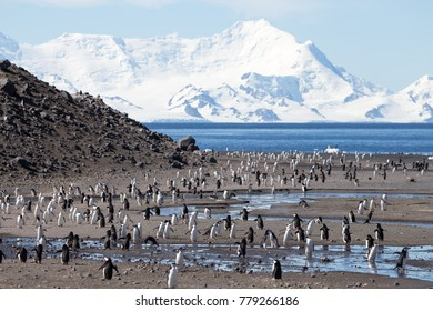 A chinstrap penguin colony super highway at Baily Head, Deception Island, South Shetland Islands, Antarctica. With the mountains of Livingstone Island in the background