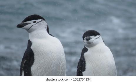 Chinstrap penguin look like policemen