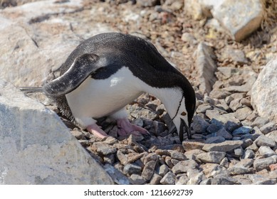 Chinstrap penguin on the beach in Antarctica