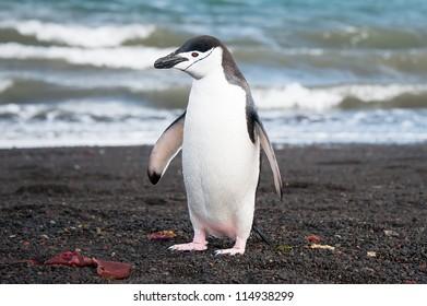 Chinstrap penguin on the Deception island, Antarctica