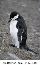 Chinstrap penguin on a sandy beach in Antarctica