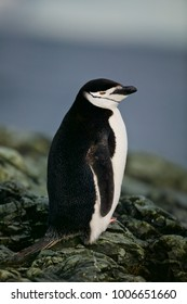 Chinstrap Penguin (Pygoscelis antarctica) on a rock