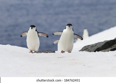 Chinstrap Penguin, Pygoscelis antarctica, running on ice, Antarctica.