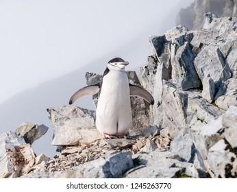 Chinstrap penguin, Pygoscelis antarcticus, on rocks of Spigot Peak mountain top, Arctowski peninsula, Antarctic Peninsula, Antarctica
