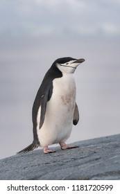 Chinstrap Penguin (Pygoscelis antarcticus) - Walk