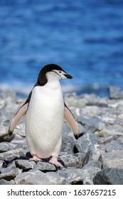 Chinstrap Penguin (Pygoscelis antarcticus) walking in the rocky beach of Yankee Harbor. South Shetland Islands, Antarctica