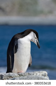 Chinstrap penguin standing on rock, clean blue and green background, South Shetland Islands, Antarctica