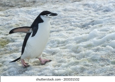 Chinstrap penguin walking on snow, Half Moon Bay, Antarctica
