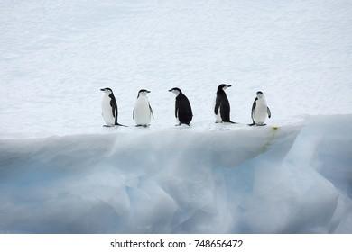 Chinstrap Penguine on Iceberg