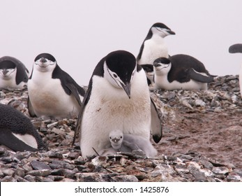 Chinstrap penguins with chick