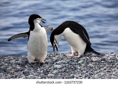 Chinstrap Penguins (Pygoscelis antarcticus) on Paulet Island in Antarctica