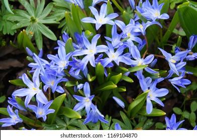 Chionodoxa forbesii blue giant or glory of the snow spring flowers