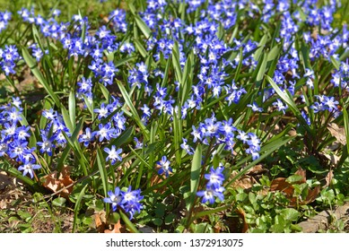 Chionodoxa forbesii or Forbes' glory-of-the-snow, bulbous perennial from south-west Turkey flowering in April. Russia