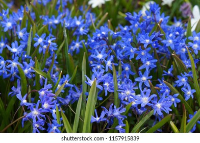 Chionodoxa forbesii or forbes' glory-of-the-snow spring blue flowers