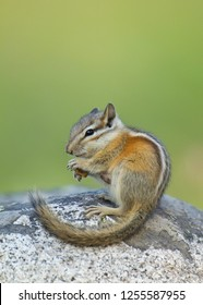 Chipmunk atop a rock with tail curved in a graceful arc, against a natural forest background