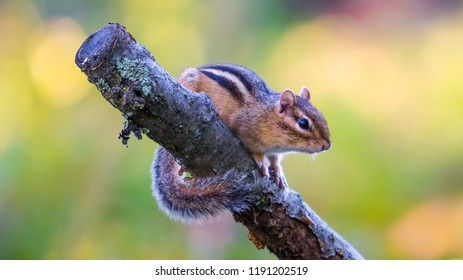 Chipmunk in autumn in Governor Knowles State Forest Wisconsin