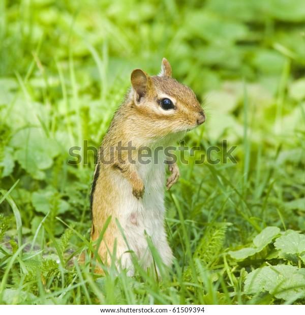 chipmunk-bagging-food-600w-61509394.jpg