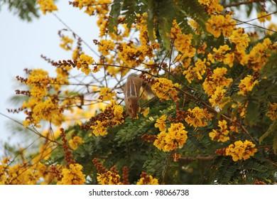 Chipmunk at blooming yellow acacia tree