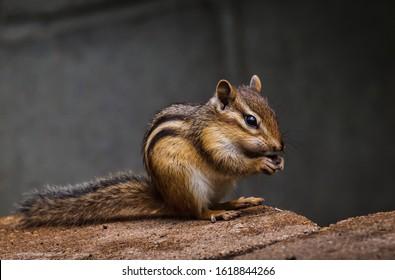 Chipmunk catch stone in his cute hands .
