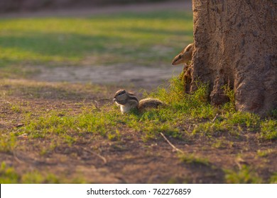 Chipmunk in Delhi, India