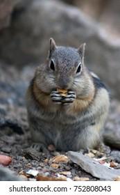 a chipmunk eating