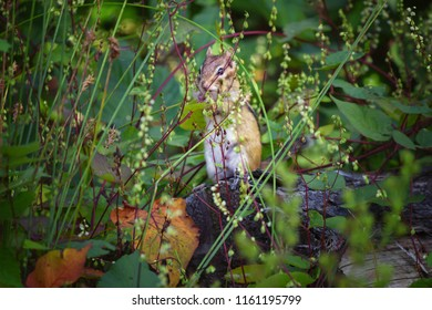 Chipmunk Eating His Favorite Berries Outside Den