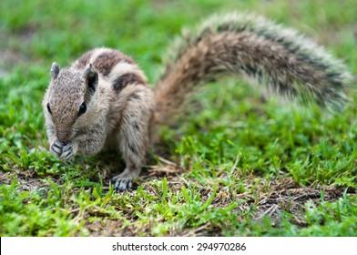 Chipmunk eating a nut, Delhi, India