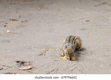 Chipmunk Eating on the Street