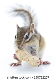 Chipmunk eating peanuts, isolated on white background
