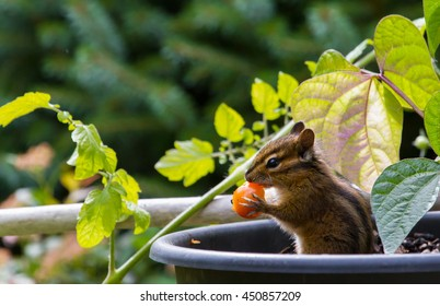 Chipmunk eating tomatoes from the garden