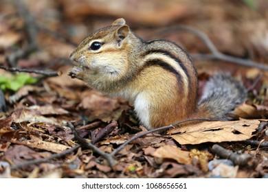 Chipmunk in the forrest