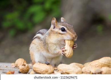 chipmunk having nuts