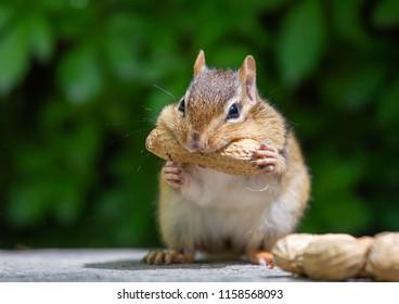 chipmunk is having peanuts