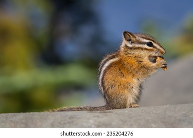 A chipmunk holds and eats a tiny piece of granola