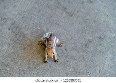 chipmunk making abrupt stop on concrete sidewalk