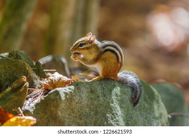 Chipmunk in New Hampshire autumn wood