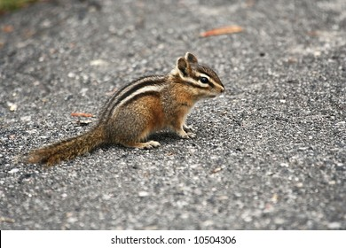 Chipmunk on the parking lot in Yellowstone NP