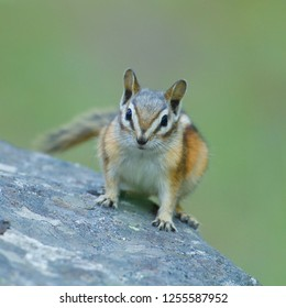 Chipmunk on rock directly facing the camera - Pacific Northwest wildlife