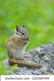 Chipmunk on rock eating, with a natural background of lush green forest foliage