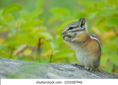Chipmunk on rock eating seeds, with a natural background of lush green forest foliage