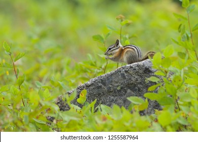 Chipmunk on rock eating seeds, amidst natural surroundings of lush green forest foliage