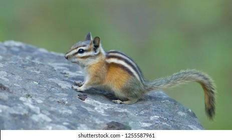 Chipmunk on rock standing alert - Pacific Northwest wildlife