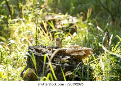 chipmunk on a stump with mushrooms
