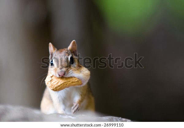 Chipmunk with peanut in his cheeks