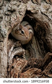 Chipmunk peering out of a hole in an oak tree.