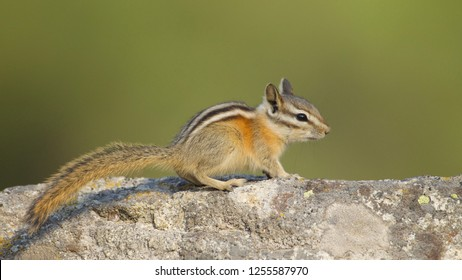 Chipmunk poised alertly on rock, with a natural background