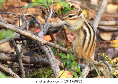 Chipmunk poses in front of a camera in the wild, nibbles on plant seeds, high contrast, high brightness, autumn foliage