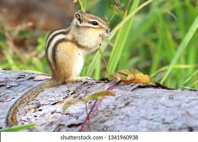 Chipmunk poses in front of a camera in the wild, nibbles on plant seeds, high contrast, high brightness, green background