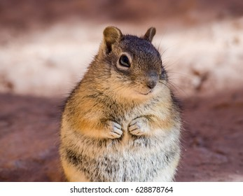 Chipmunk is sitting on the rock, Bryce Canyon, Utah, USA