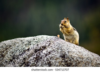 A chipmunk sitting on a rock eating a nut with blurred background at lake Tahoe in California.
